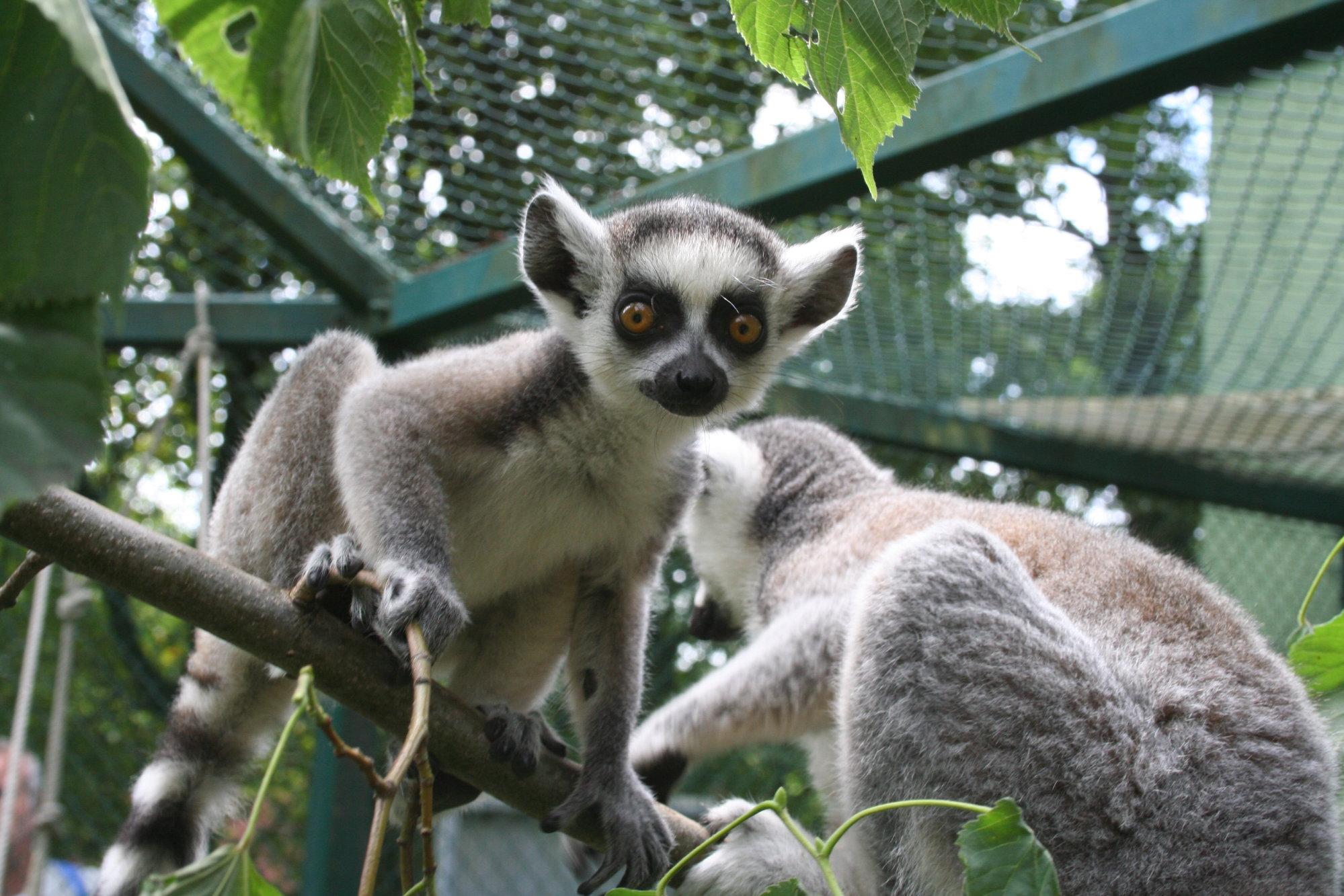Affen Und Halbaffen Zoologischer Garten
